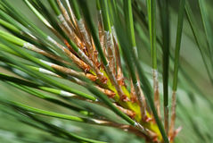 Nature's Abstract - Pine Needles Stock Images