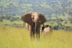 Elephants Territory stock image