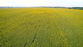 Nature`s beauty: aerial view on sunflowers field stock footage