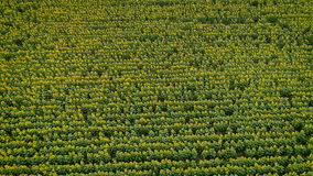 Nature`s beauty: aerial view on sunflowers field stock video footage