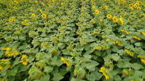 Nature`s beauty: aerial view on sunflowers field stock video