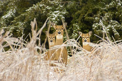 Nature's Beauty asThree Deer Survive Severe Kansas Ice Storm Stock Images