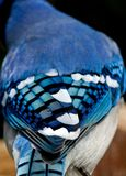 Nature's Blue. Nature's Best as seen in Blue Jay feathers Stock Photos