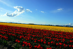 Nature's Colors. Tulip Fields in Mount Vernon, WA Royalty Free Stock Photo