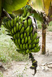 Nature's Garden - Green Bananas Stock Image