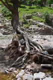 Flooded tree roots royalty free stock photos