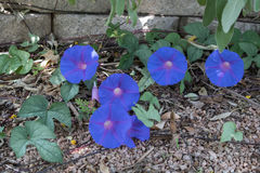 Nature`s Jewels. Blue morning glory bloom against a stone wall Royalty Free Stock Images