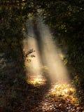Misty sunbeams on woodland leaves. Autumn wood with rays of light creating dramatic spotlights Stock Photo