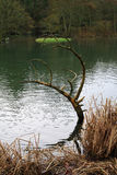 Nature's own art. Peaceful scene of a pond in Dover, England, UK. Shows the antler like sculpture of a tree branch that has fallen into the water Royalty Free Stock Photo