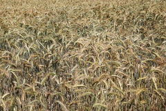 Nature's Palette Colours Ripening Wheat Stock Photography