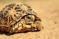 Nature's Patterns - Tortoise Walk Royalty Free Stock Images
