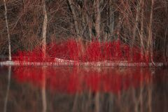 Free Nature`s Springtime Kiss Shape From Red Dogwood And Reflection In Water Stock Image - 168806271