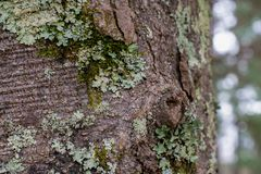 Green Lichen and Moss Layered on a Tree in the Forest. ~NATURE'S TEXTURES~ Background Layout of Layered Green Lichen and Moss on Tree Bark in the Forest royalty free stock photography