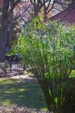 Nature's umbrella. Cyperus alternifolius plant in a park Royalty Free Stock Photos