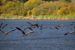 A nature sanctuary in autumn. Canada geese fly over a boardwalk in a nature sanctuary, Vancouver Island, Canada Stock Photo
