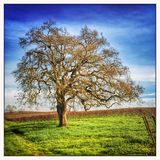 Nature: Saturated old oak tree Royalty Free Stock Photo