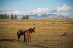 Nature sauvage de l'Altai Les beaux chevaux frôle dans le s photographie stock