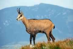 Nature sauvage en Slovaquie, chamois Photos libres de droits