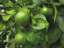 Close-up Green Lime Fruits on the Tree. Nature Scene, Close-up Green Lime Fruits on the Tree stock photo