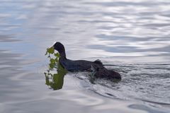 Eurasian coot with their chick swimming in a water of a lake. Nature scene on an eurasian coot with their chick swimming in a water of a lake. Malente, Germany royalty free stock photography