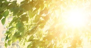 Nature scene with leaves of birch and sun light with lens flare. Tree in park with sunrise light on background. Warm color nature scene with leaves of birch and stock footage