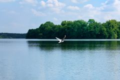 Nature scene of seagull flying over the water of a lake. Ploen, Germany royalty free stock photography