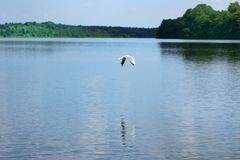 Nature scene of seagull flying over the water of a lake. Ploen, Germany stock photo