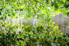 Nature scene. Spring tree reflected in water. Green leaves reflecting in water with some copy space Stock Photos