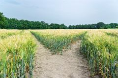 Nature scene of tractor tracks in the plantation of cereal plants and trees at horizon. Germany royalty free stock image