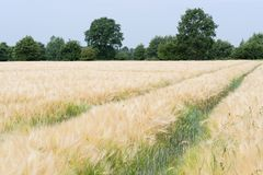 Nature scene of tractor tracks in the plantation of cereal plants and trees at horizon. Germany stock photography