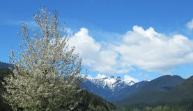 Scenery Of Cherry Tree With B.C. Snow Capped Mountain Peak In The Back ground In Spring 2019. Nature Scenery Of Cherry Tree With B.C. Snow Capped Mountain Peak stock photos