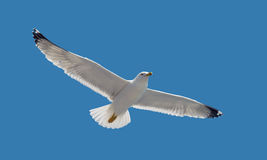 Nature - Seagull during flight in the sky Royalty Free Stock Images