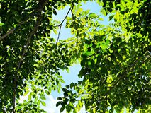 Green leaves at spring season on blue sky background. Nature, season or background concept : Green leaves at spring season on blue sky background Stock Image