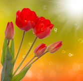 Nature season.Red tulip Royalty Free Stock Photos