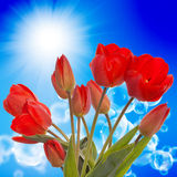 Nature season.Red tulip Royalty Free Stock Photography