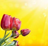Nature season.Red tulip Stock Photos