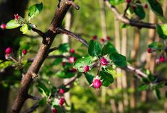 Apple twig with blooming flowers royalty free stock images