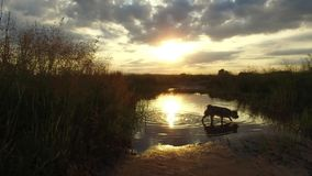 Nature Seefluß und -gras am Sonnenuntergangsonnenlicht Der Hund wäscht sich im Wasser steadicam Schuss-Bewegungsvideo stockfotos