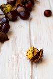 Nature series: ripe chestnut in the rind Royalty Free Stock Images