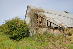 Nature Slowly Consumes Farm Building. Entangled and spreading, vines slowly dismantle an abandoned barn Stock Image