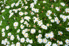 Nature Small White flowers for background Stock Images