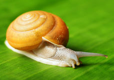 Snail creeps on green leaf Royalty Free Stock Photography