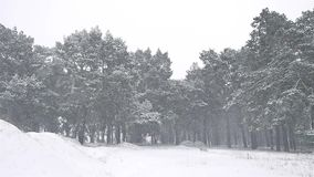 Nature snowstorm the woods blizzard snowing winter, christmas tree and pine forest landscape. Nature snowstorm woods blizzard snowing winter, christmas tree and stock video footage