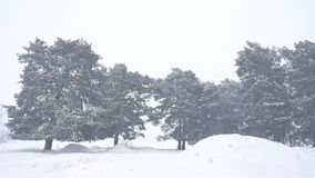 Nature snowstorm the woods snowing blizzard winter, christmas tree and pine forest landscape. Nature snowstorm woods snowing blizzard winter, christmas tree and stock footage