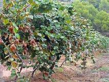 Nature of Spain - kiwi fruit on the tree. Spain Royalty Free Stock Photos
