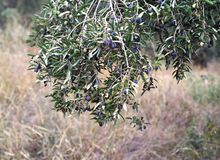 Nature of Spain - olives on the olive tree. Spain Stock Photo