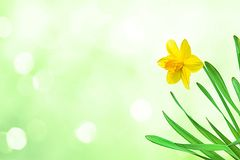Nature spring background with Yellow flowers daffodils. Nature spring Wallpaper with Yellow flowers narcissus on green and white background. Beautiful Wide royalty free stock photo