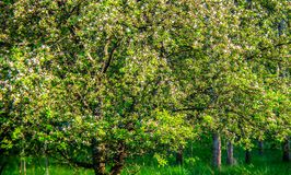 Nature in spring, blooming apple tree stock image