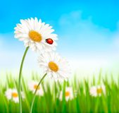 Nature spring daisy flower with ladybug. Vector illustration Royalty Free Stock Photos