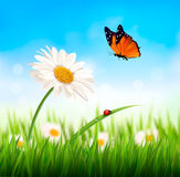Nature spring daisy flower with ladybug.. Vector illustration Stock Photo